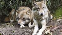 Ученые сообщили об угрозе для Европы волков-мутантов из Чернобыля